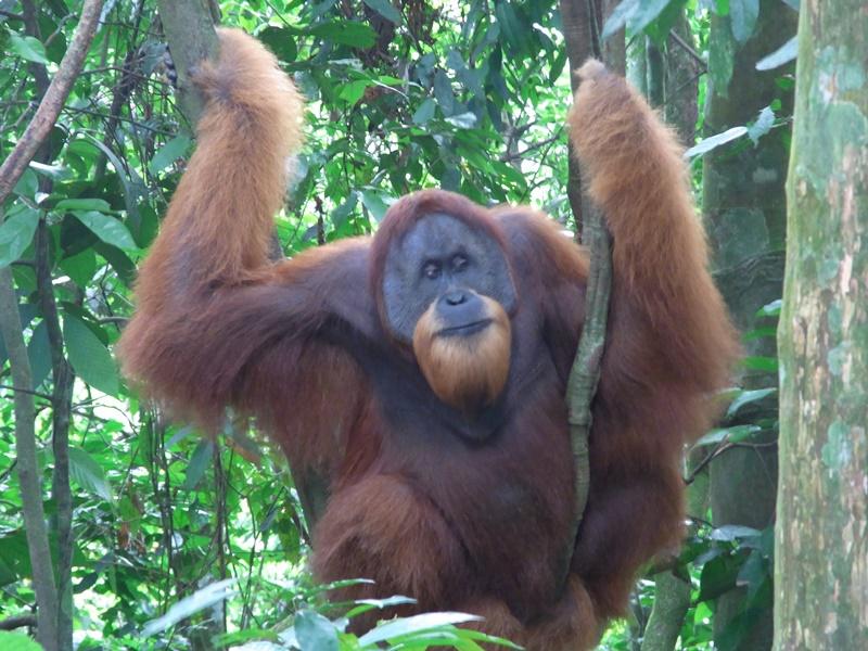 Ein Orang-Utan im Dschungel auf Sumatra.