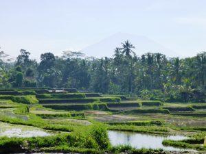 Grüne Reisterrassen auf der Insel Bali.