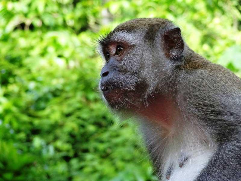 Affe im Dschungel von Bukit Lawang