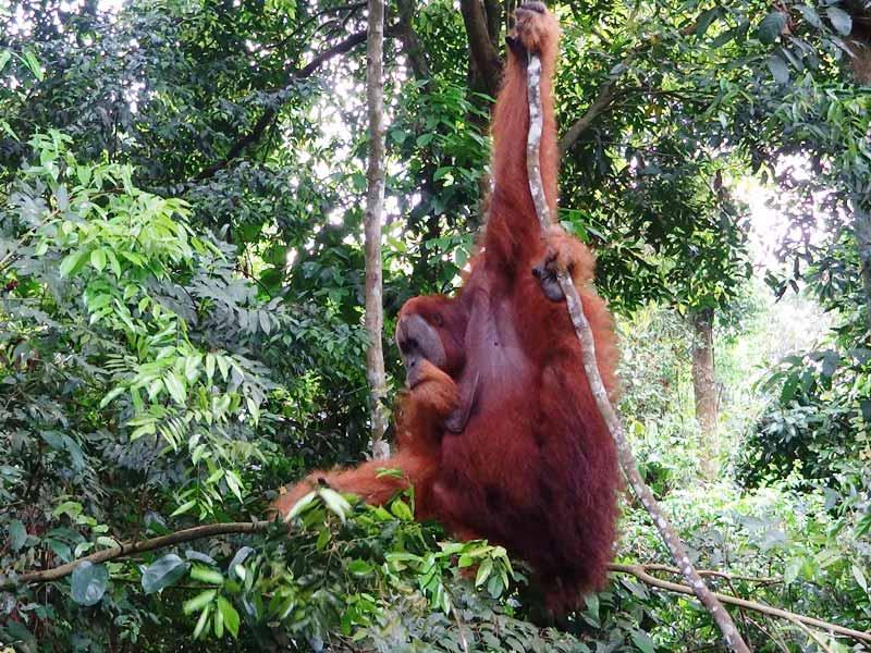 Orang Utans schwingen sich von Baum zu Baum