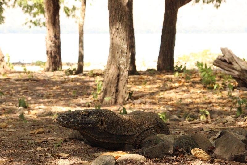 Ein Komodowaran im Komodonationalpark.