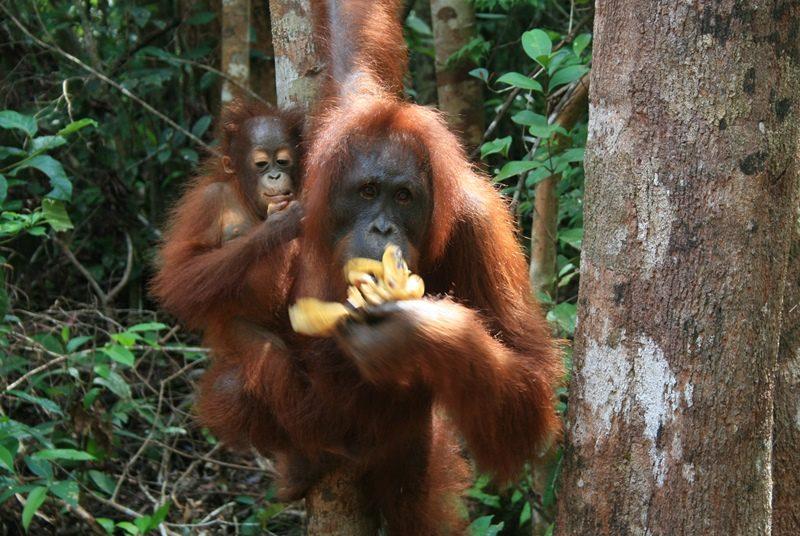 Orang Utans im Gunung Leuser Nationalpark auf Sumatra.