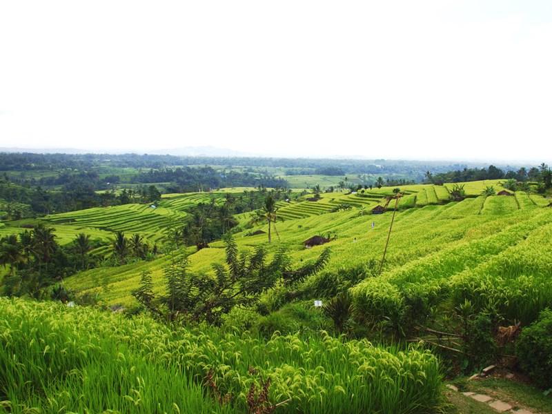 Die Jatiluwih Reisterrassen auf Bali.
