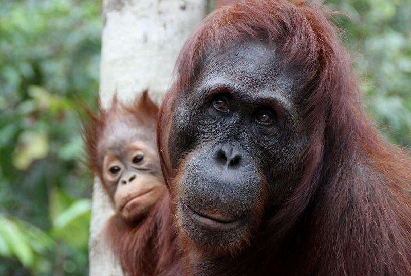Orang-Utans im Dschungel von Kalimantan.