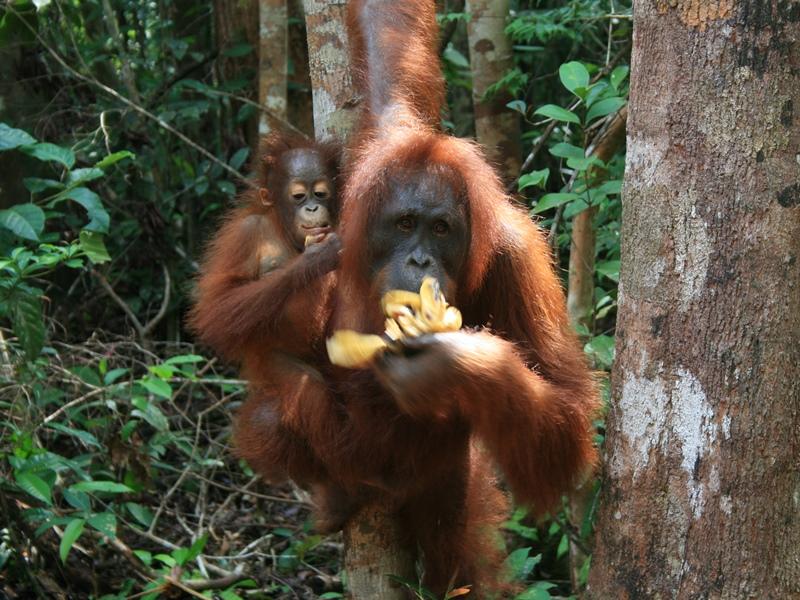 Indonesien - Gunung Leuser Nationalpark - Orang Utan mit Baby