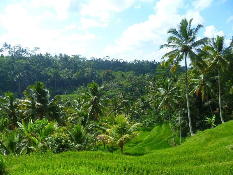 Indonesien - Reisterrassen bei Ubud