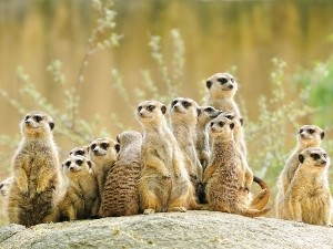 Eine wachsame Erdmännchen Gruppe