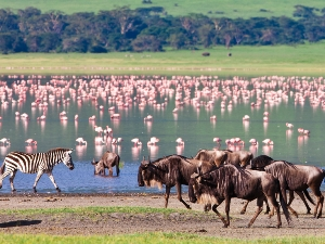 Gnus und Flamingos am Lake Natron