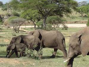 Besuchen Sie die großen Elefantenfamilien im Tarangire Nationalpark