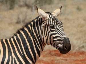 Zebra Tierbeobachtung Safari Tansania Ngorongoro Krater