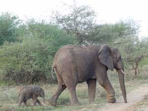 Elefanten-Kuh mit Kalb auf dem Weg
