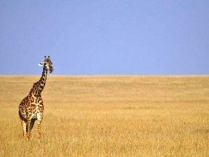 Giraffe in den Weite der Serengeti