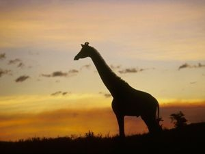 Schatten einer Giraffe im Sonnenuntergang