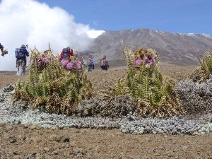 Tansania Machame Route Kilimanjaro Trekking Vegetationsformen