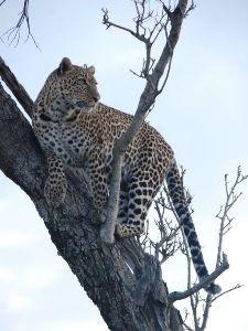 Leopard auf einem kahlen Baum