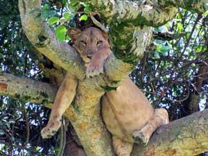 Faulenzender Löwe liegt völlig entspannt auf dem Baum