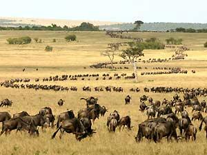 Tansania Serengeti Gamedrive Gnuherde Safari