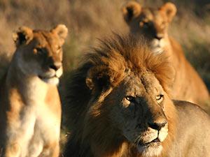 Löwe und Löwinnen hautnah in der Serengeti