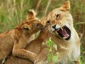 Verspielte Löwen auf Ihrer Safari