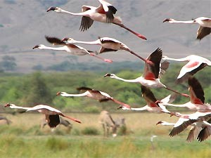 Tansania - fliegende Flamingos am Lake Natron - Ngorongoro Krater