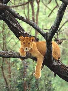 Tansania - Junger Löwe sitzt im Geäst eines Baumes - Ngorongoro Krater