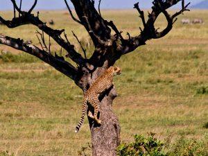 Leopard im Baum - Kenia Tansania Rundreise