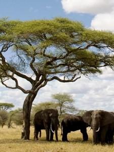 Elefanten im Schatten eines Baobabbaumes