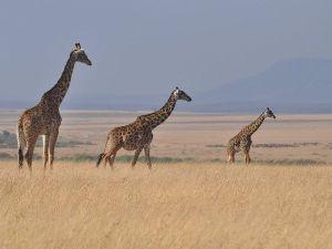 Giraffen in der weiten Ebene