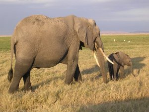 Elefantenkuh mit Ihrem Kalb