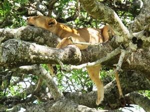 Rundreise Tansania Sansibar Lake Manyara Nationalpark Baumlöwe