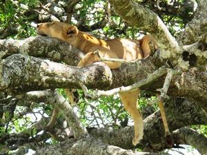 Baumlöwen in Tansania