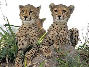 Wachsame Geparden