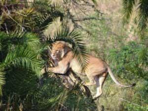 Löwen in der Serengeti und am Lake Manyara