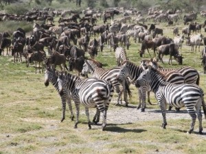 Riesige Herde Zebras und Gnus