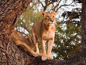 Löwe auf Baumstamm - Kenia Tansania Rundreise