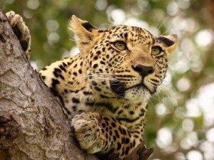 Leopard in Lauerstellung auf einem Baumstamm - Kenia Tansania Rundreise