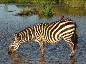 Trinkendes Zebra im Wasser - Kenia Tansania Rundreise