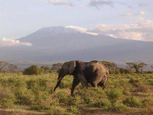 Elefant im Amboseli Nationalpark und im Hintergrund der Kilimanjaro