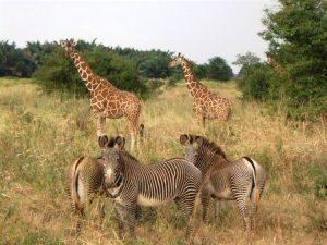 Grevyzebras und Giraffen