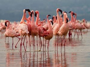 Rosafarbene Flamingos am Lake Nakuru