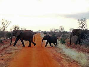 Elefanten auf der Straße - Tansania Highlights