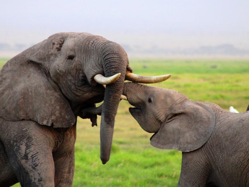 Kenia - Amboseli Nationalpark - spielende Elefanten