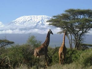 Kenia Rundreise - Giraffen im Amboseli Nationalpark