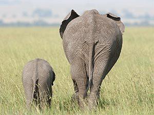 Ostafrikanische Tierwelt in der Masai Mara