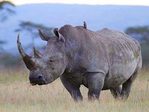 Kenia Urlaub mit Safari - Begegnung mit einem Nashorn