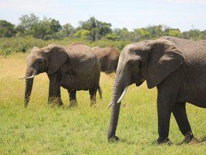 Kenia Urlaub mit Safari - Elefanten in der Masai Mara
