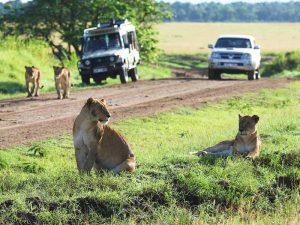 Begegnung mit einem Löwenrudel