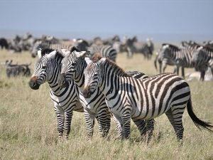 Kenia Rundreise - Eine Zebraherde in der offenen Savanne