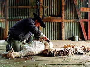 Schafe scheren auf der Estancia