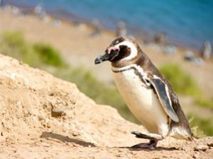 peninsula-valdes-pinguin